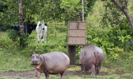 Pablo's hippos, Escobar visto a través de sus hipopótamos [trailer]